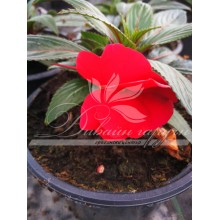 Impatiens New Guinea